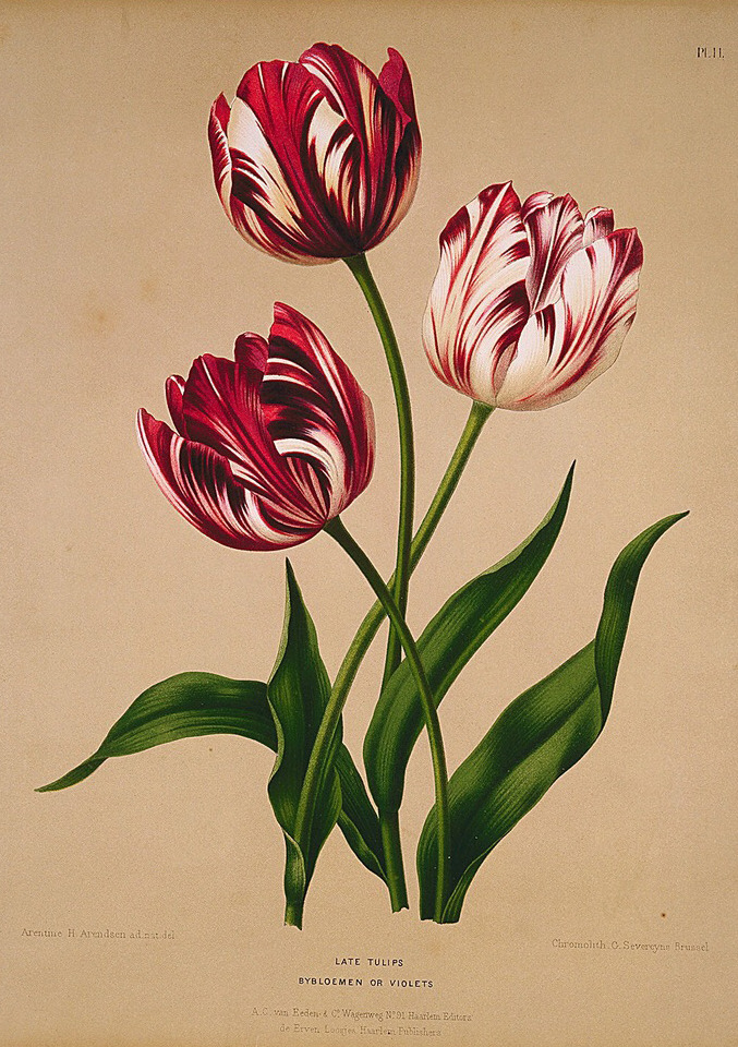 design-is-fine :     Late Tulips, 19th century. Unknown Artist. Chromolithograph, Netherlands.  BioDiv