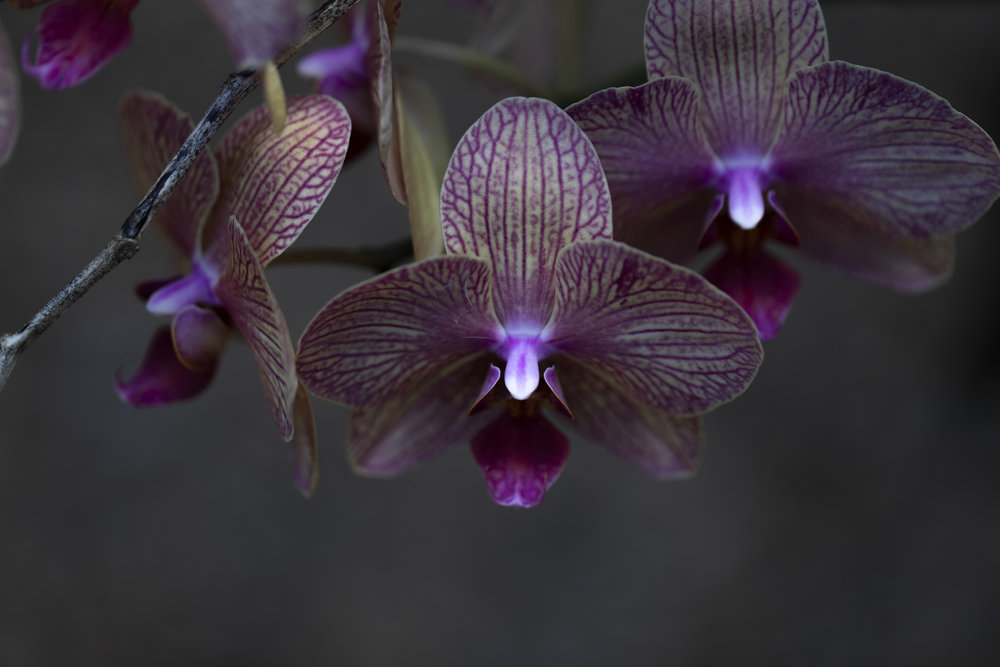 hapa orchid (1 of 1).jpg