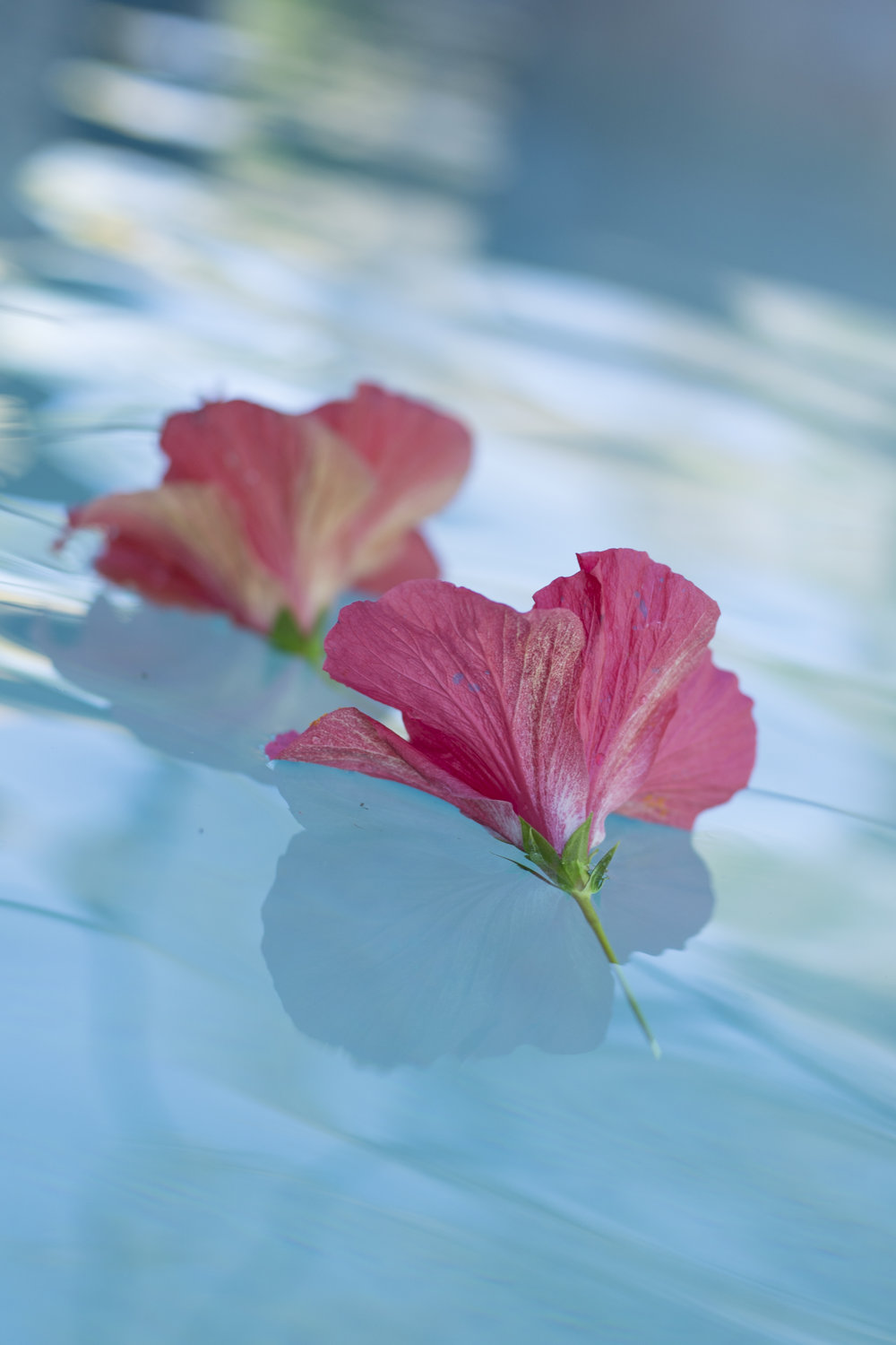 hibiscus in pool two (1 of 1).jpg