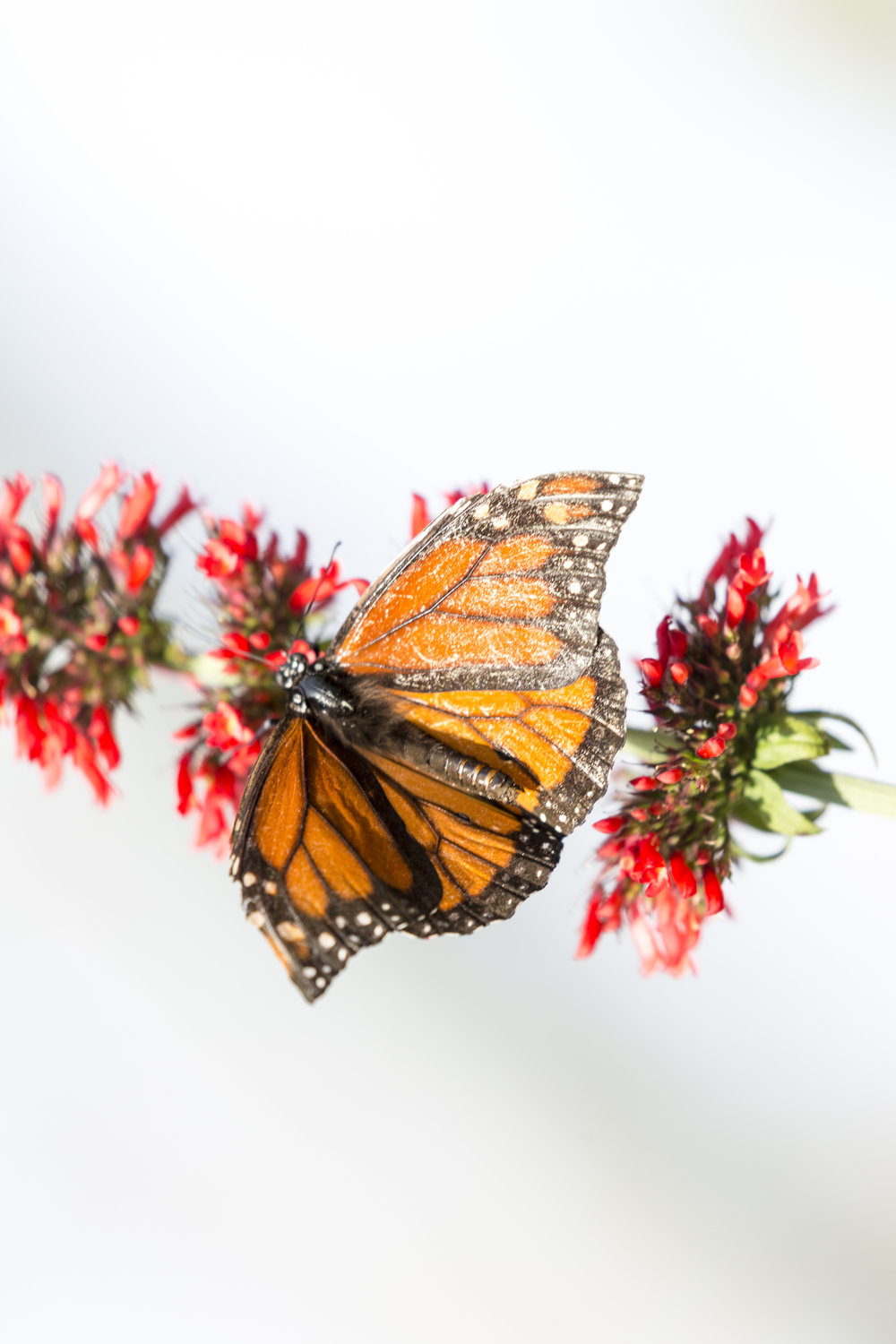 monarch and red flowers (1 of 1).jpg