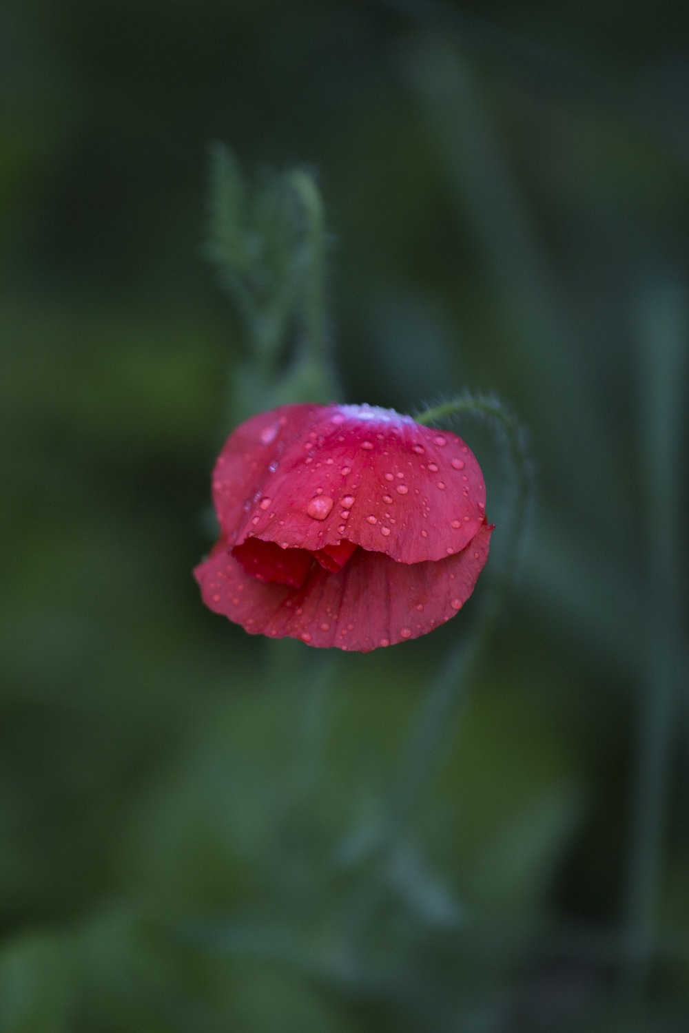 red wild flower (1 of 1).jpg