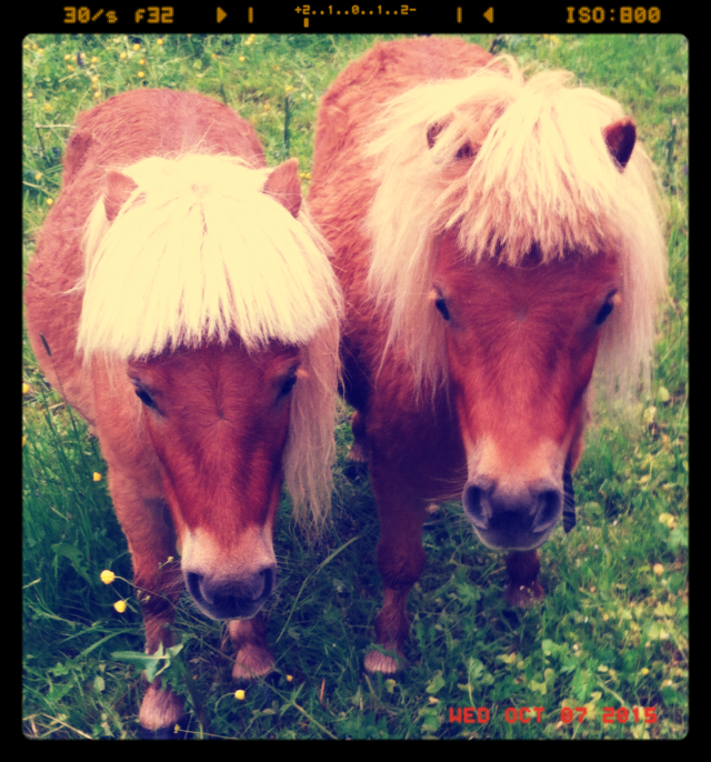 Miniature_ponies_looking_severely_cute