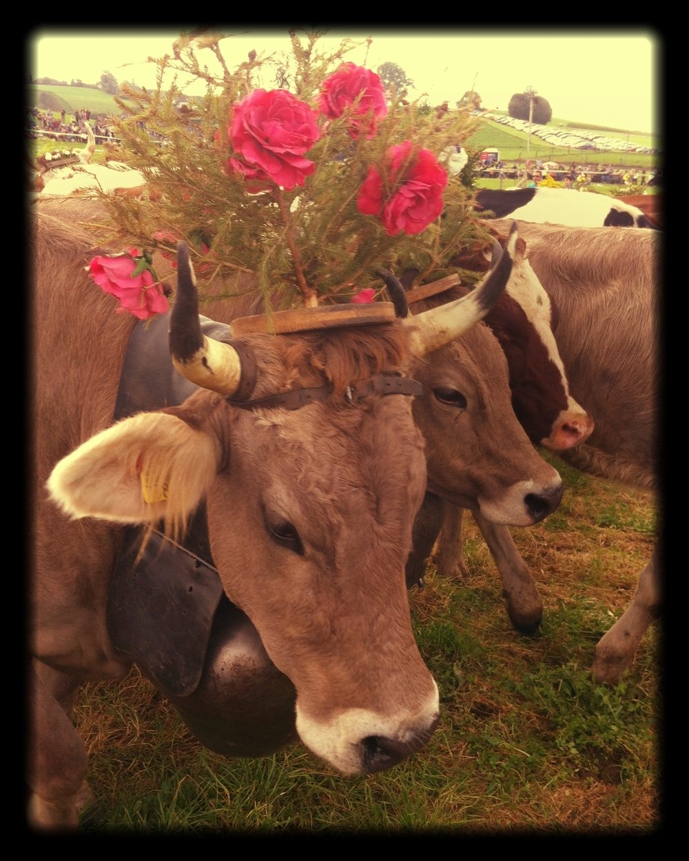 Decorated_cows
