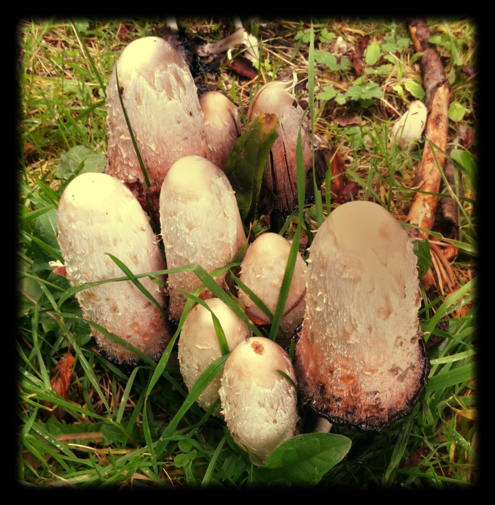 Coprinus_Musrooms__Edible