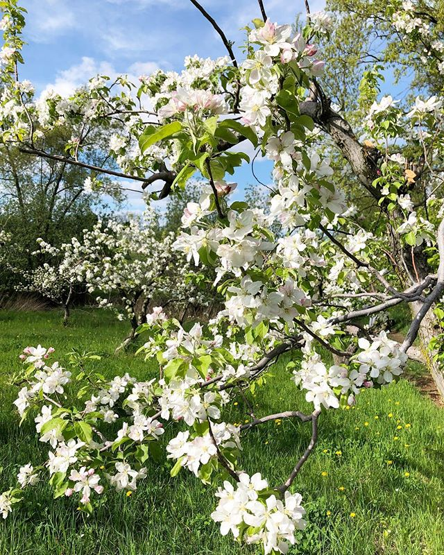 The Orchard is in full bloom 🌸 #discoverontario #canada #applevaleorchards #ontariosfinest