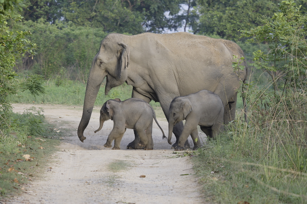 Asian Elephant Mother and Calves                      A.C. Williams