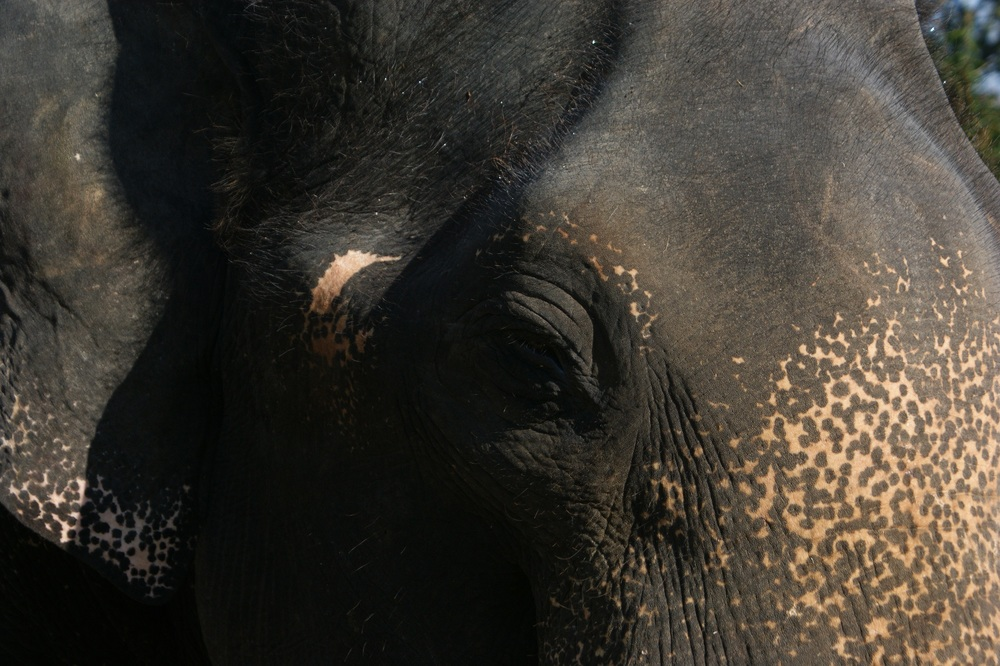Male Asian Elephant, Tamil Nadu, India                                                                                                                                  R. Chandler