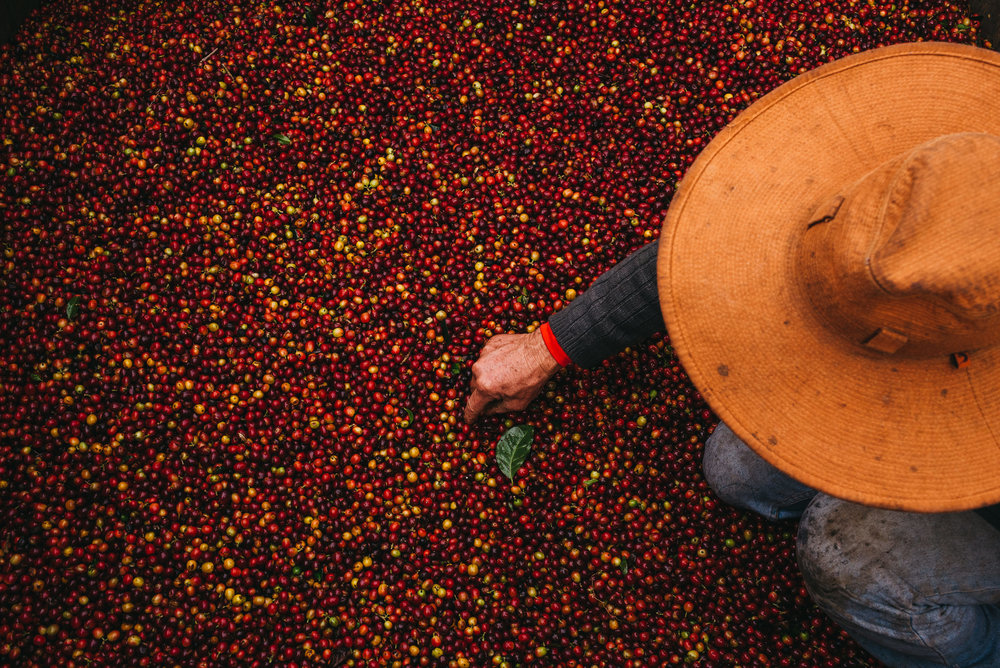 fresh picked coffee cherries