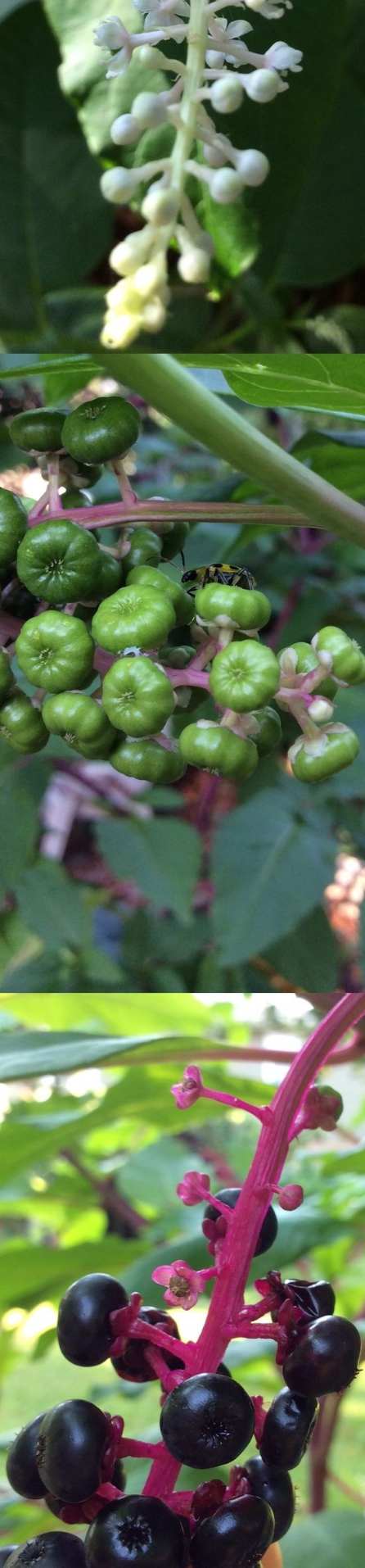The phases of the Pokeweed plant. It starts with the delicate white flowers, transitions into the green pods and then to the rich, dark berries. Native Americans used to use this North American plant for inks.
