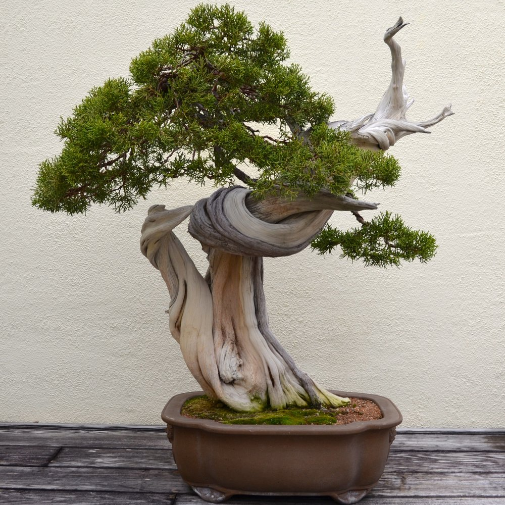 juniper-bonsai-trees.jpg