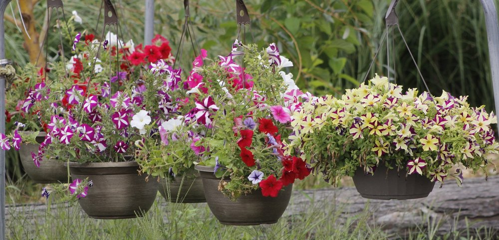 Beautiful hanging flowering baskets are now in stock at the  Albany Helping Hands Thrift Store.  705 SE 1st Avenue, Open Monday - Saturday, 9 am to  7 pm.  * Save $5.00 off of any purchase of $20.00 or more with online coupon. Please c lick here for your coupon .