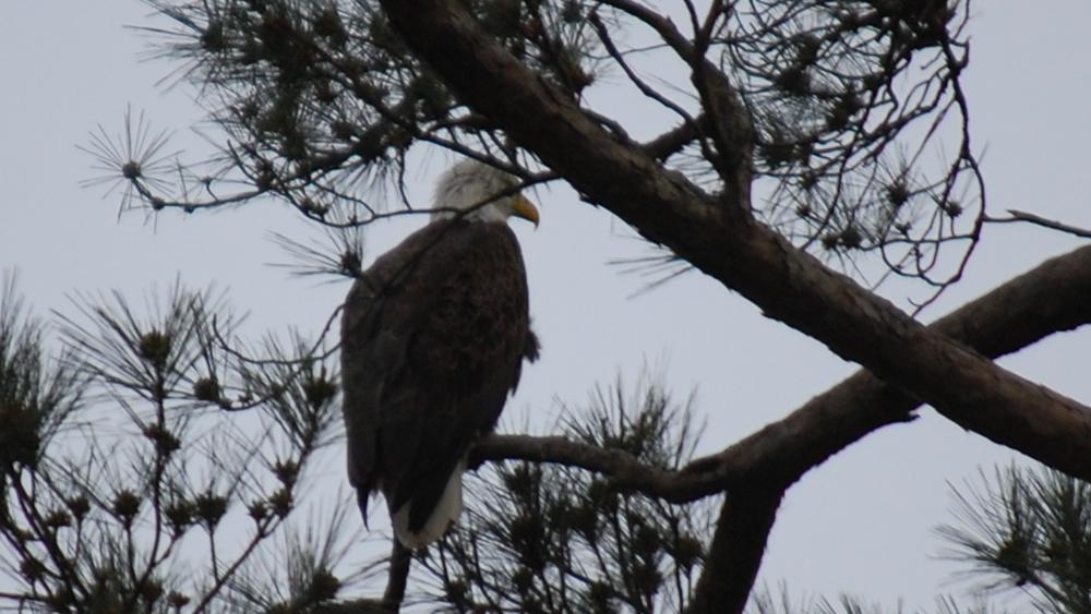 bald-eagle-1.jpg