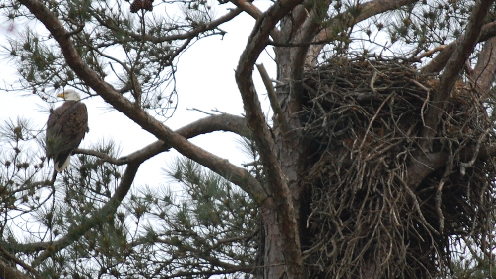 eagle-and-nest.jpg