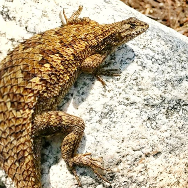 Ummm excuse me Mr. lizzard 🦎 Did you just eat a small rabbit or some other lil animal? #hiking #jpl #trail