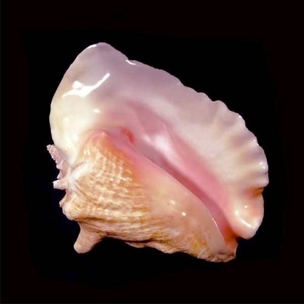 The shell of a queen mollusc, from which the conch pearl origanates.