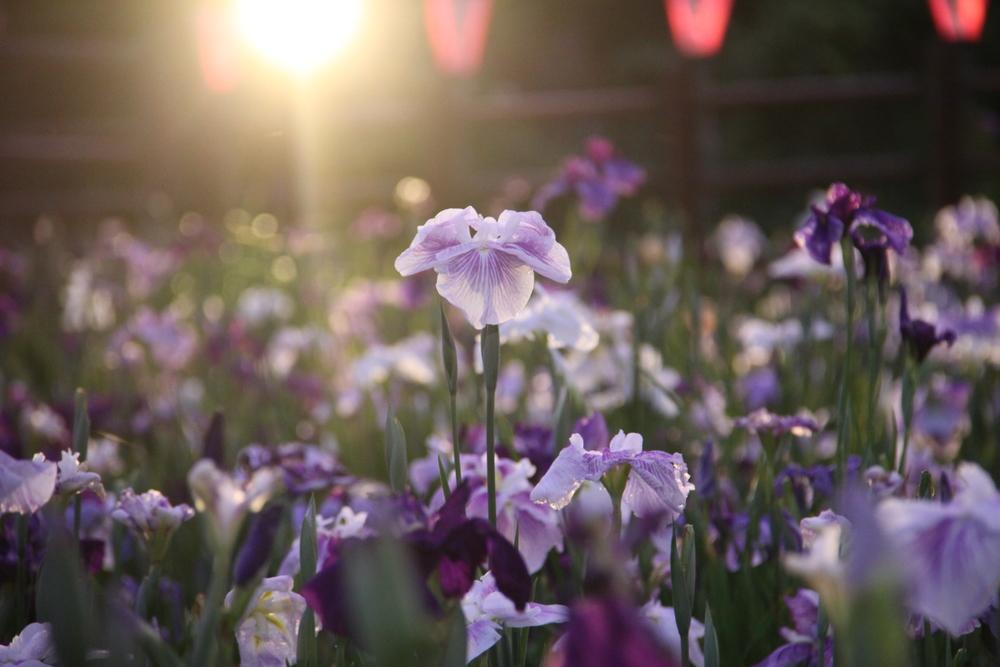茨城縣菖蒲花祭