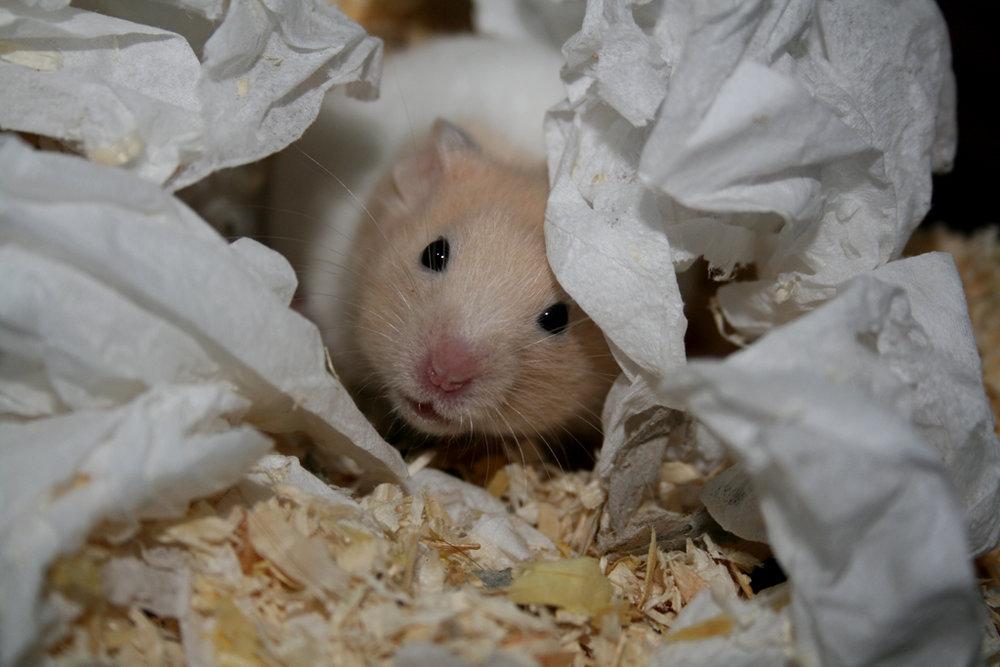 ziggy-the-hamster-by-pitrih.jpg