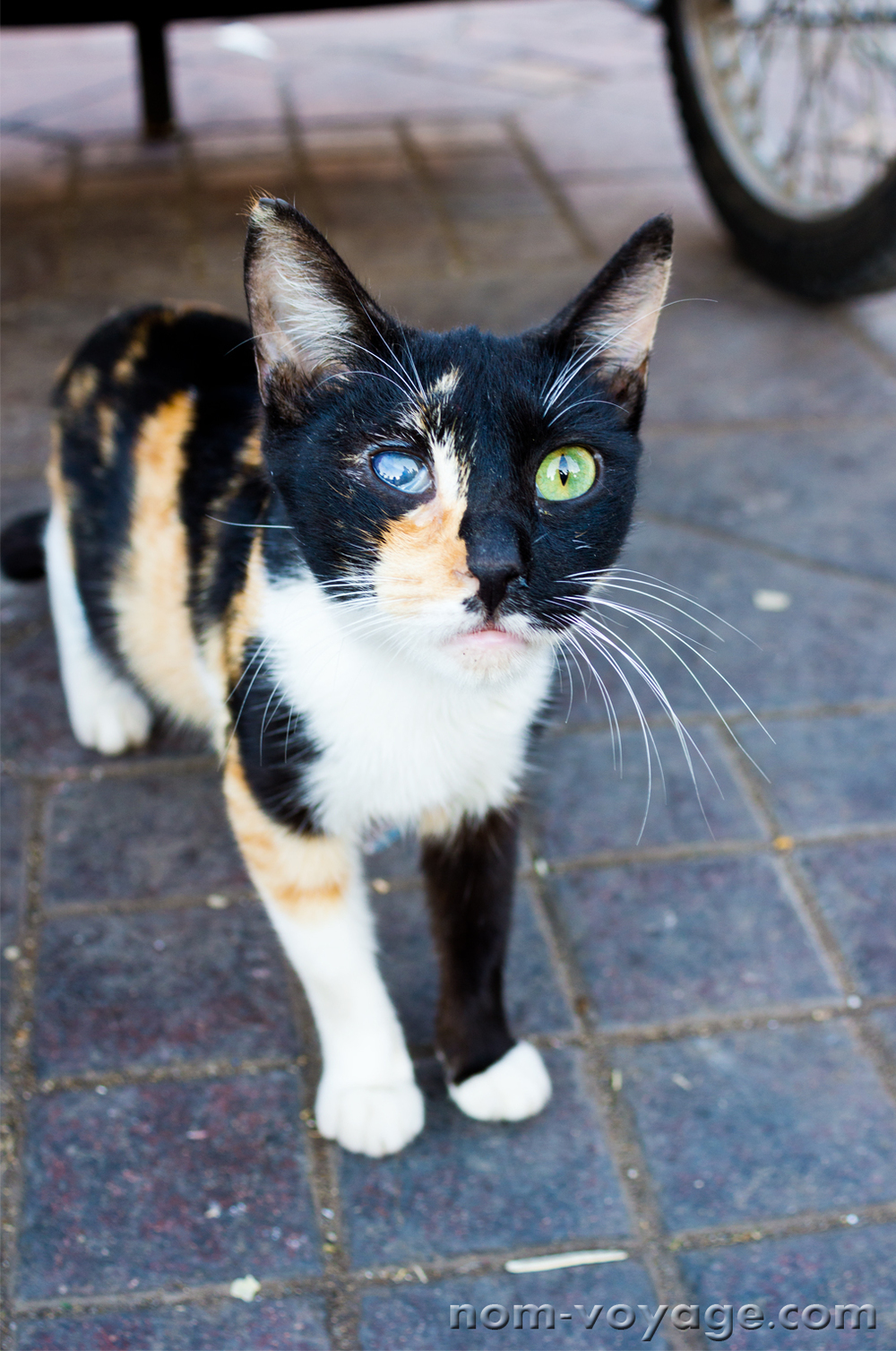 A friendly calico kitty looking for food at Jemaa El Fna.
