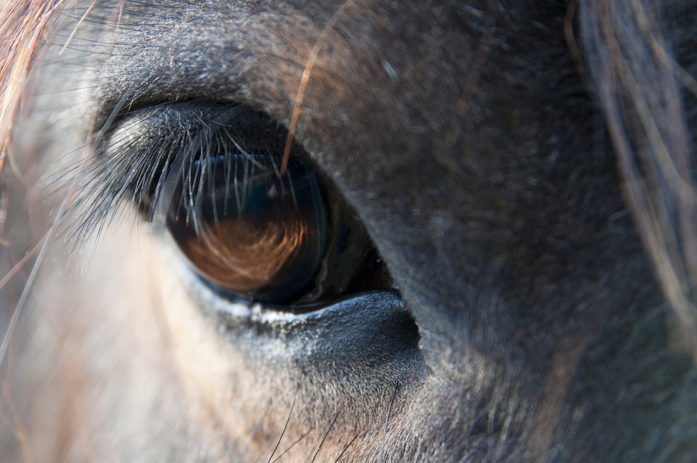 Shire horse eye - peter castleton