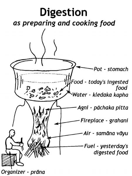 - Ruuansulatusprosessi kokonaisuudessaan vie aikaa noin 6-8h ja tämä prosessi jakautuu useaan vaiheeseen. Ruuansulatus on enemmän kuin pelkästään ruuan imeytymistä ruuansulatuskanavasta ja kuona-aineiden poistamista, sillä ruuansulatus jatkuu vielä hienovaraisempana solutasolla. Solutason Agnit muodostavat ravinnosta energiaa ja poistavat Amaa, kuten patogeeneja ja muita aineenvaihduntajätteitä. Kun ravinto on täydellisesti metaboloitu, se muuttuu puhtaaksi energiaksi, sekätietoisuudeksi. Tietoisuutemme tulee siis ravituksi ruuasta, jonka sulatamme ja saamme käytettyä hyväksi.