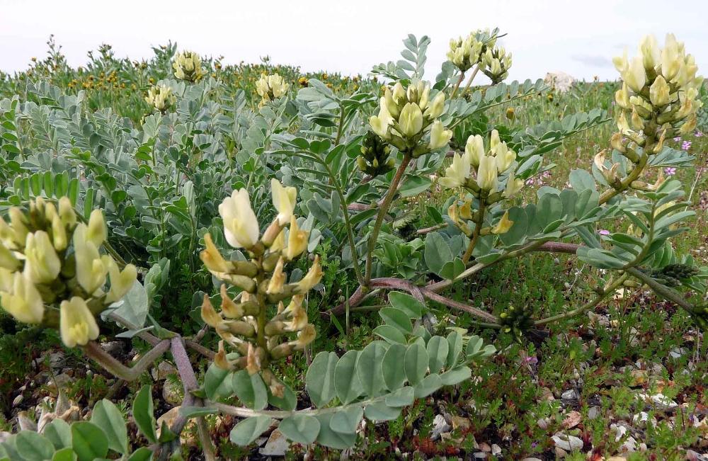 Astragalus_lentiginosus-nig.jpg