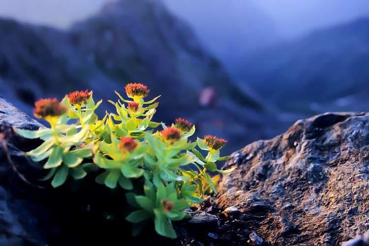 rhodiola-rosea.jpg