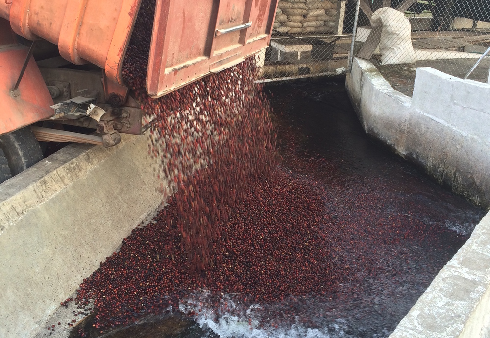 Freshly picked coffee cherries are dumped into the washing process.