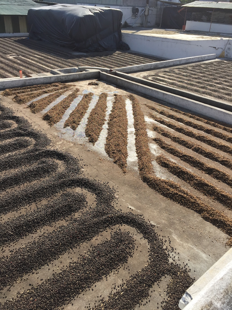 Coffee drying on patios at Finca San Jerónimo Miramar