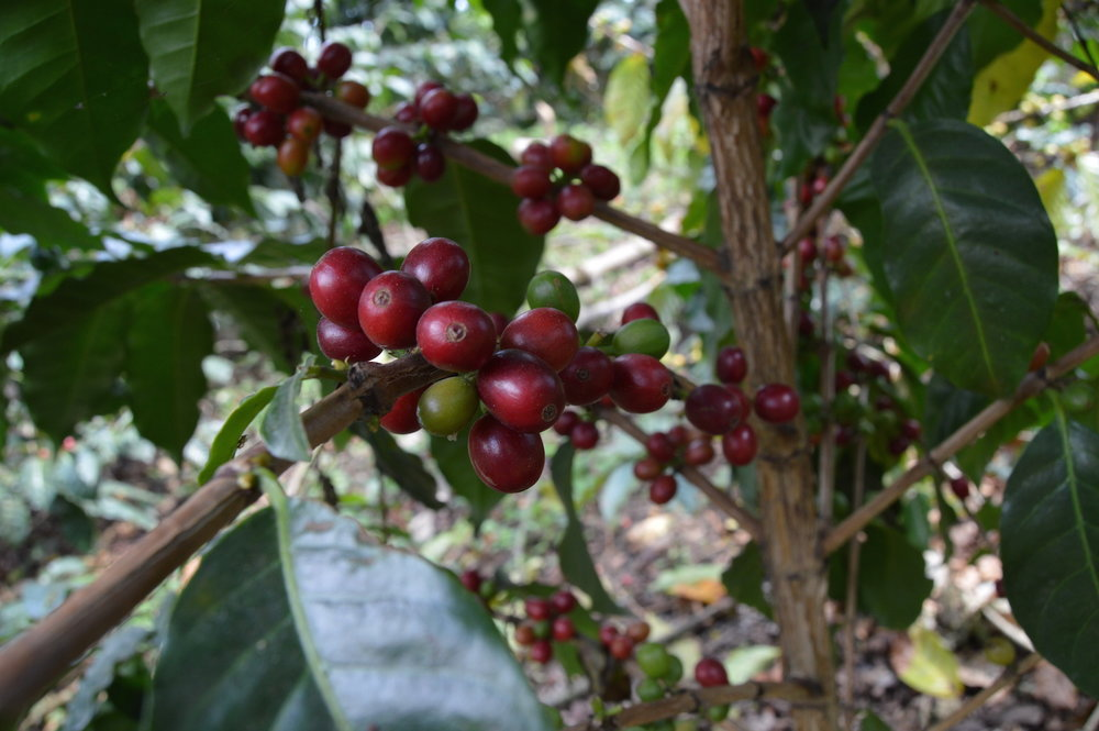 Ripe coffee cherries ready to be picked