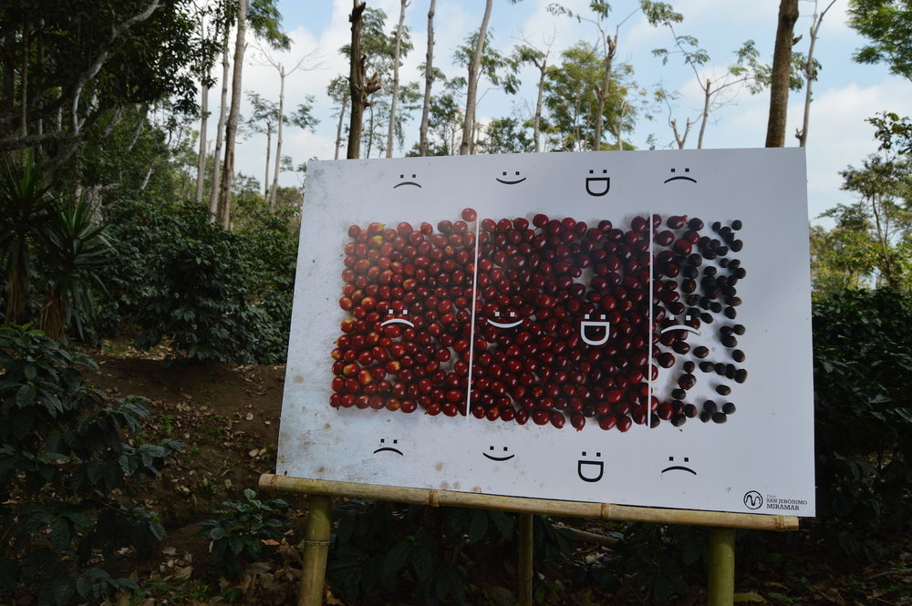 A chart showing how to pick the best coffee cherries