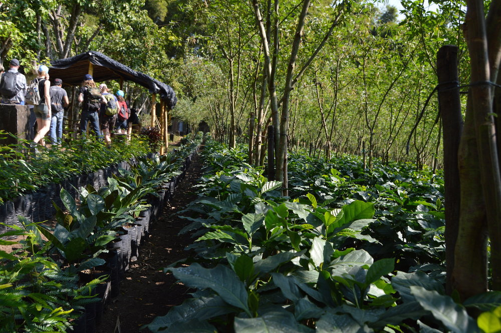 The coffee plant nursery at Finca San Jerónimo Miramar