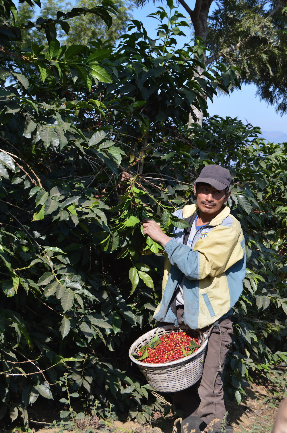 A farm worker harvests coffee cherries