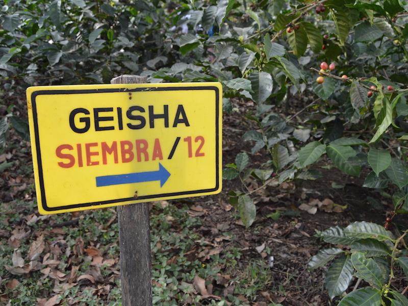 Sign for Gesha/Geisha coffee plots at Finca San Jerónimo Miramar, Guatemala.