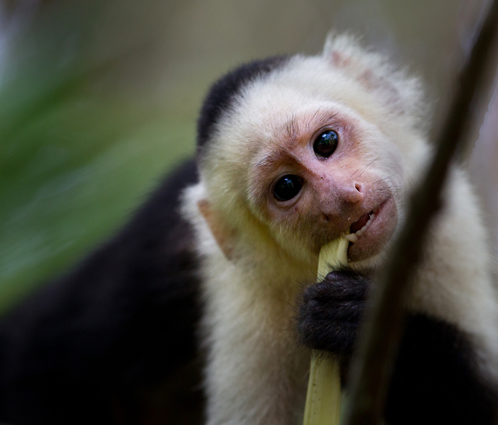 2_20H1908_web_whitefaced-capuchinclose-up.jpg