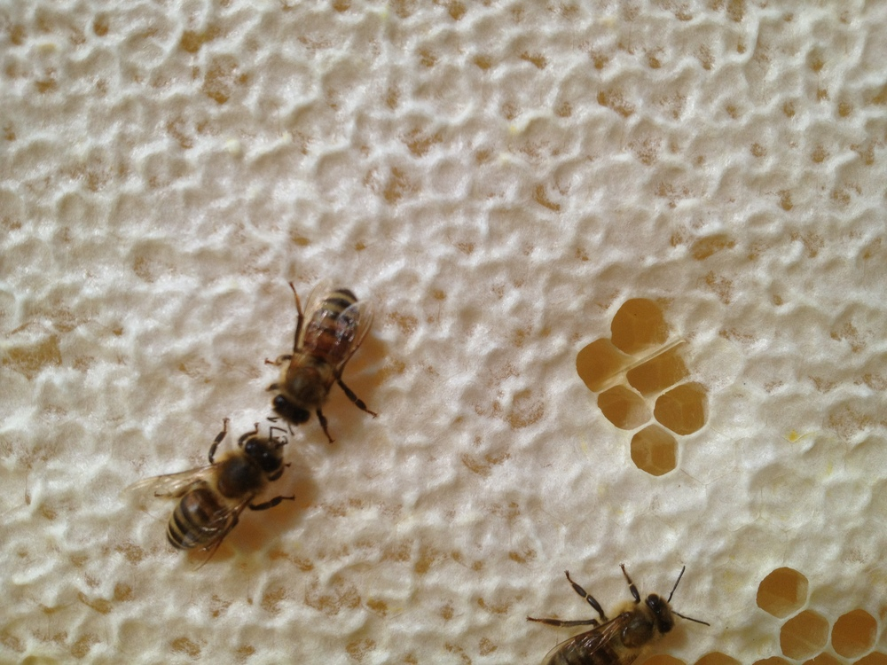 Honeybee on Capped Honey