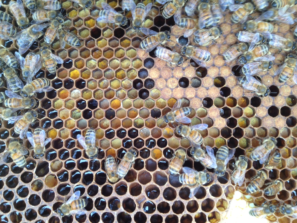 Pollen Capped Brood Frame