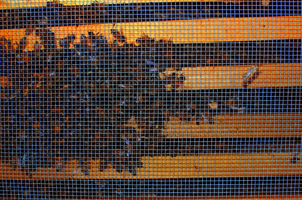 The view from the bottom of a hive, looking at a winter cluster