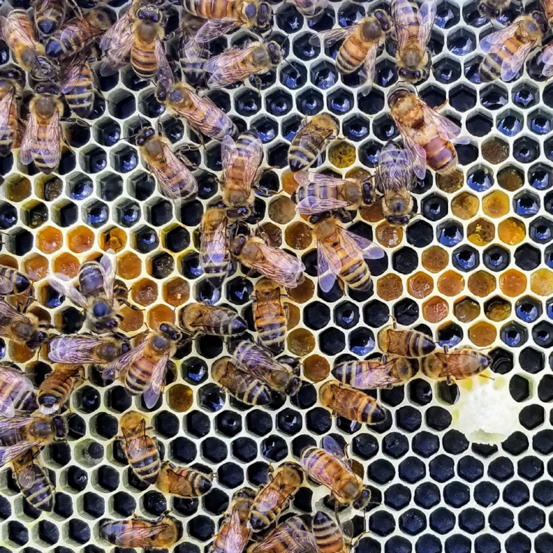 Pollen from different flowers (orange - beige cells) stored in honey comb next to nectar (shiny cells)
