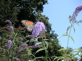 Monarch enjoying nectar from a buddleia