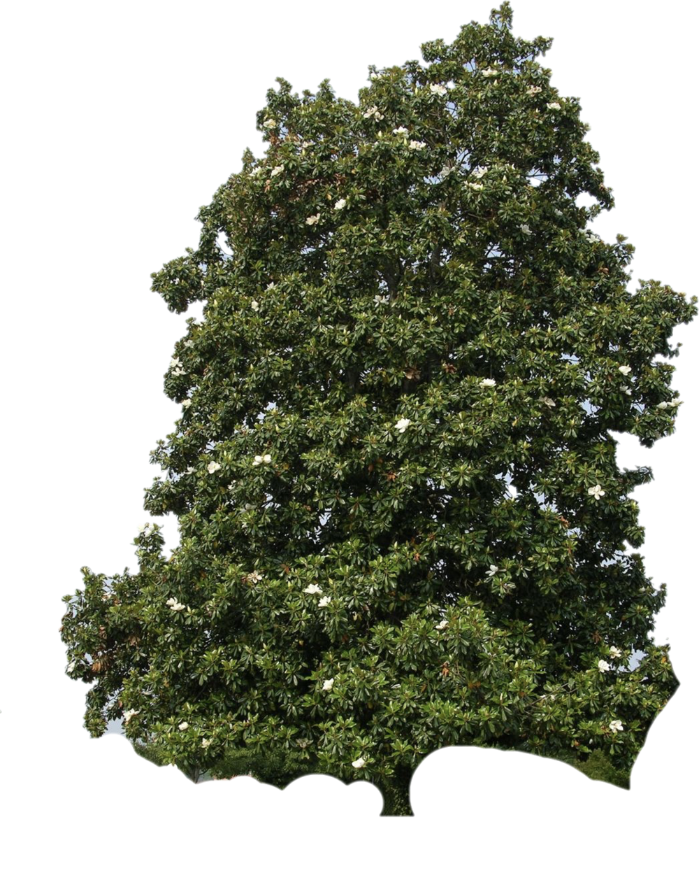 southern magnolia tree-cutout.png