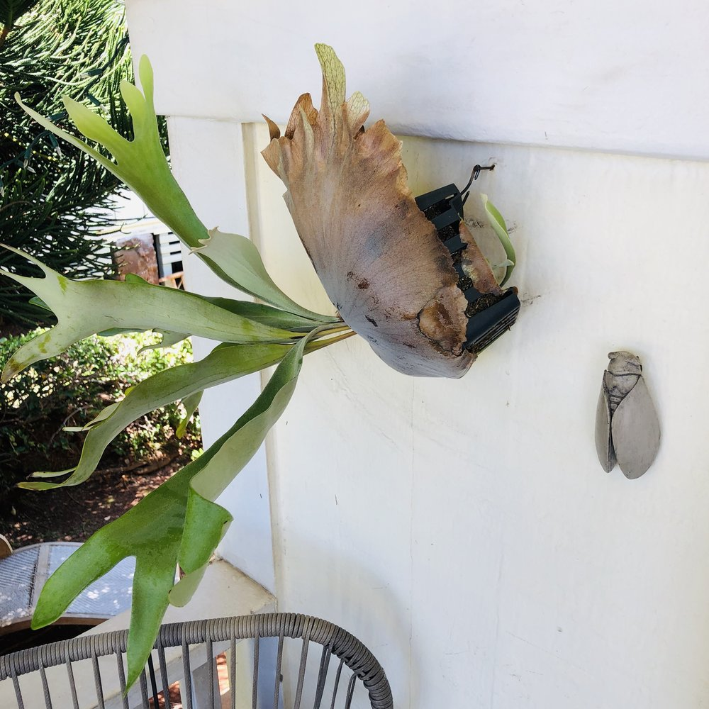 How to care for a Stag Horn Fern.