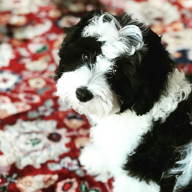 It's National Puppy Day somewhere in the world so just had to add my adorable fluffball.  He's a ball of joy and fun - and so cute!! The kids tell me everyday how happy they are to have a dog. Best thing we did as a family.  #puppy #nationalpuppyday #cutepuppy #adorable #Cavoodle #furbaby