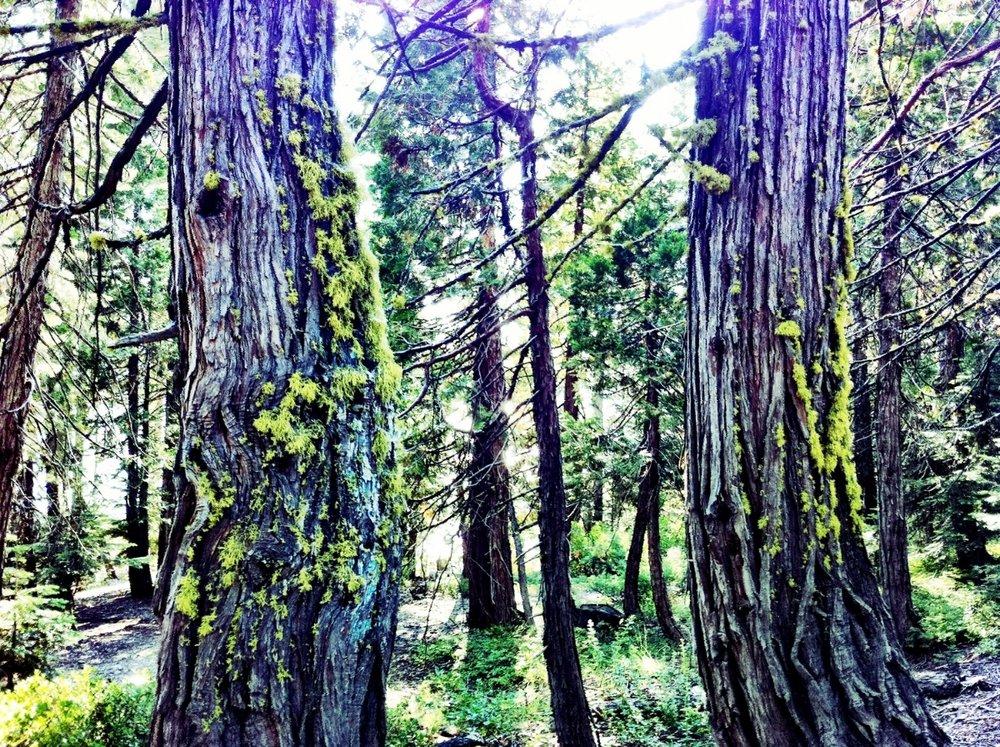 mossy tree.jpg