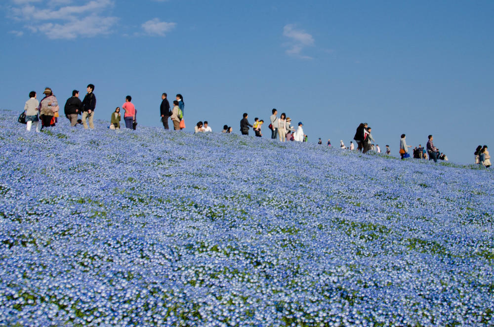 Japan: Hitachi Seaside Park in Spring