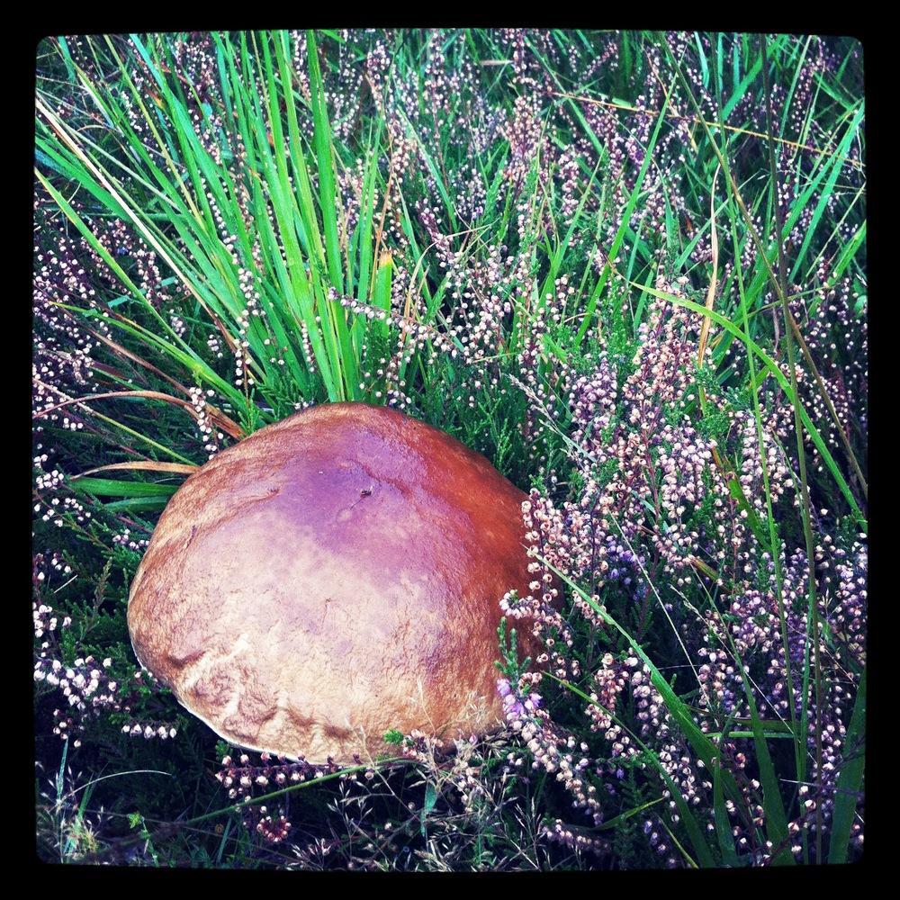it's a mushroom that looks like a steak and kidney pie!