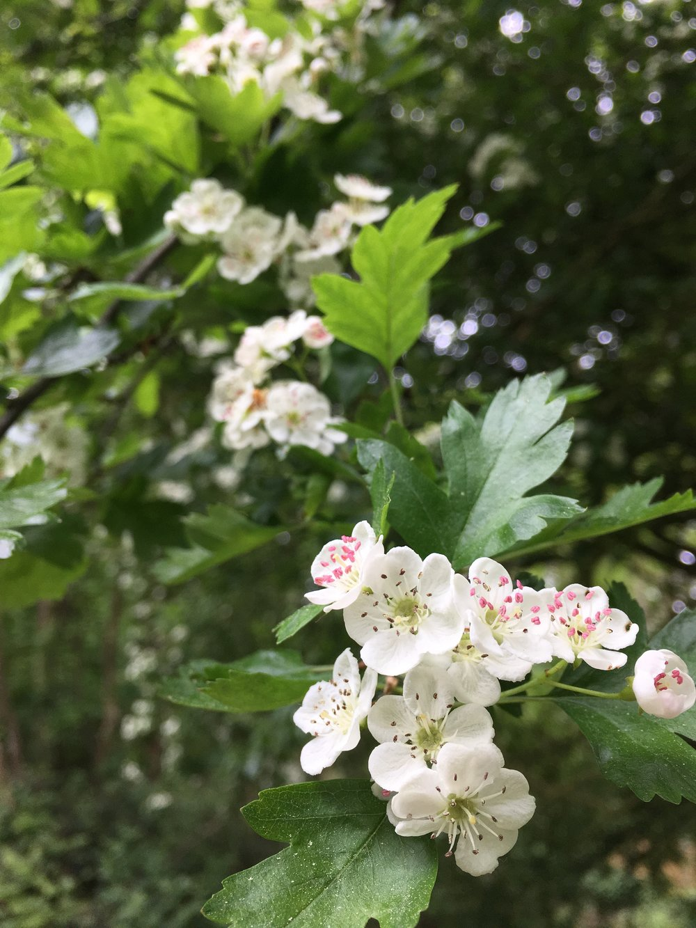hawthorn blossom.JPG