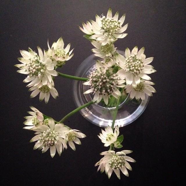 Astrantia - a favorite! #astrantia #silo #vase #stjärnflocka