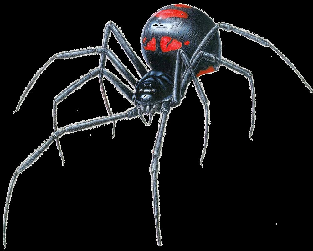 Black Widow Spider.png