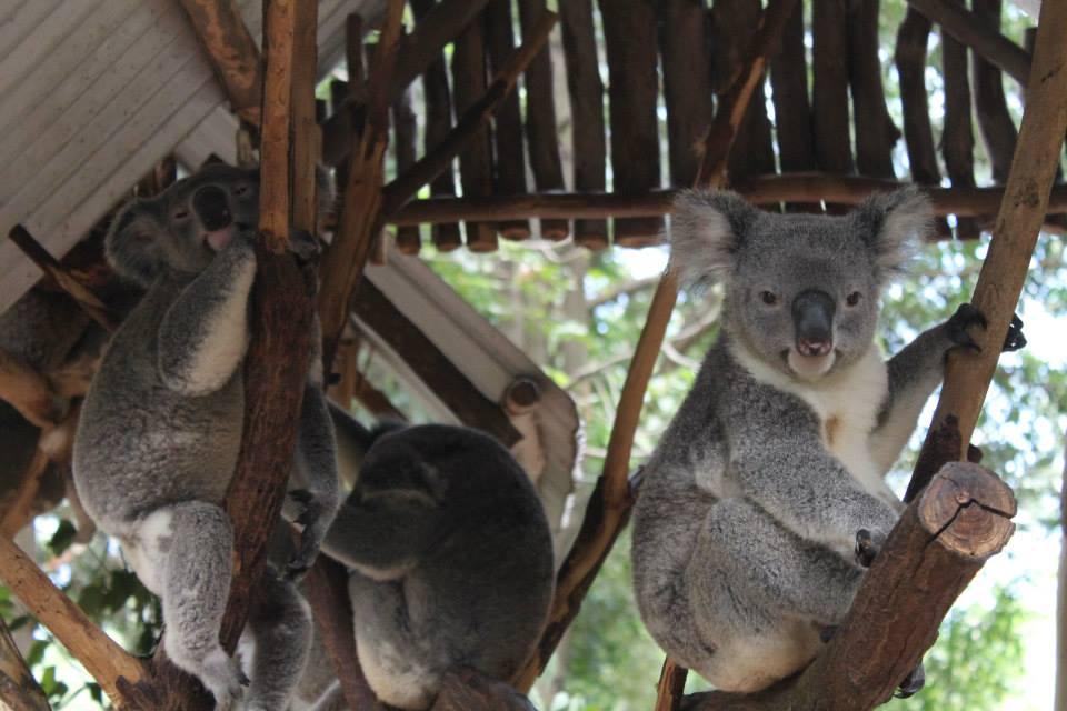 Koalas at the Lone Pine Koala Sanctuary