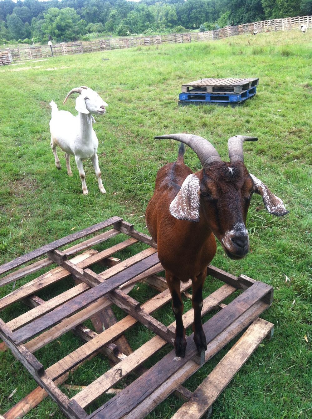 goat-on-palett.jpg
